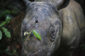 Sumatran rhinoceros portrait Sumatra Indonesia