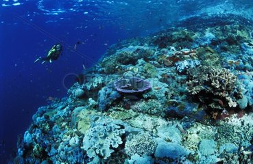 Coral reef and diver Komodo Indonesia
