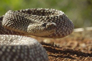 Portrait of Uracoan rattlesnake Maturín Savannah Venezuela