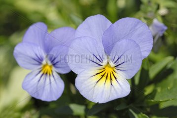 Pansy in bloom in a garden
