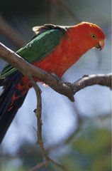 Perruche royale posée sur une branche Australie