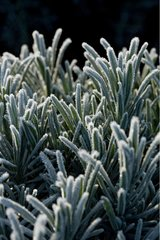 Lavender leaves frosted winter Provence