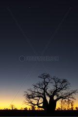 Baobab and first star in the australian tropical savanah