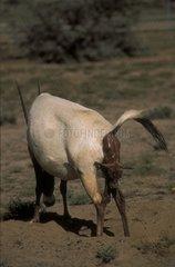 Oryx d'Arabie femelle mettant bas Arabie-Saoudite