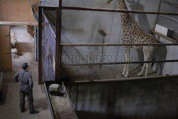 Medical examination of a Giraffe by a veterinarian France
