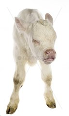Portrait of a Charolais calf caughing on white background