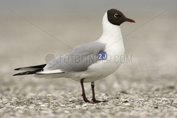 Black-headed gull carrying a mark under its right wing