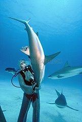 Shark hangler lifting a Shark in hypnotic trance Bahamas