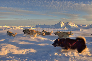 Coupling of Greenlandic sled dogs at sunset on the ice floe of Scoresbysund  Greenland