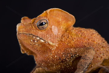 Guiana Shield Leaf Toad (Rhinella lescurei) is a bizar  alien look  toad species found in Suriname Guiana and probably Brazil.