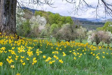 Woodland tulips (Tulipa sylvestris) in an orchard  Hartmansviller  Haut-Rhin  Alsace  France