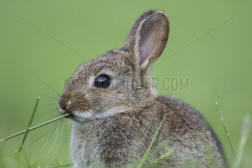 Rabbit (Oryctolagus cuniculus) juvenile  Burgundy  France
