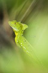 Green Basilisk (Basiliscus basiliscus) in the foliage  Cahuita National Park  Costa Rica