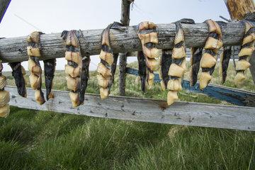 Fishes on dryers  Flatey Island  Iceland