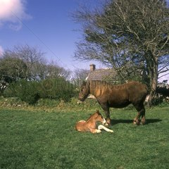 Breton draught horse female & its foal Brittany France