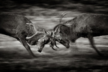 Two large Red Deer (Cervus elaphus) stags clash during the annual rut in the Peak District National Park  UK.