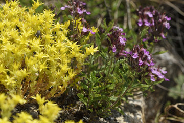 Cut-leaved Germander (Teucrium botrys)  Stonecrop (Sedum sp) flowers  Bollenberg hill  Orschwihr  Haut Rhin  France
