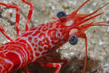 Atlantic dancing shrimp (Cinetorhynchus rigens)  Tenerife  Canary Islands.