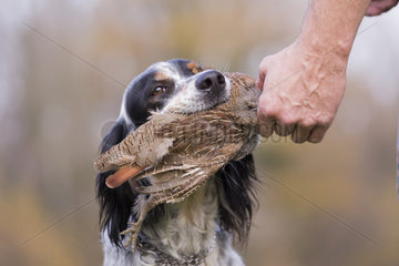 English Setter dog breed with a pheasant (Phasianus colchicus)  Bas Rhin  France