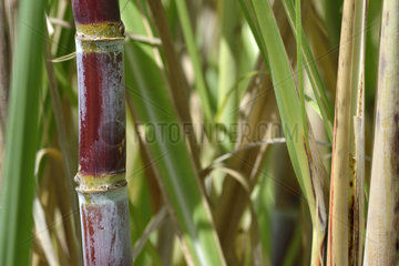 Sugarcane (Saccharum officinarum)  Guadeloupe  French West Indies