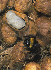 Buff-tailed Bumblebee  Bombus terrestris. Nest interior with worker  honey chambers and larvae chambers. Cut off of one larvae chamber to show the inside. Nests are usually underground  in banks or among tree roots. The queen creates a circular chamber in which she builds a wax egg cell  and she lays her first batch of eggs inside. The eggs are laid on a layer of pollen  which is collected by the queen  and then covered with a layer of wax. After hatching  the white larvae are fed on honey and pollen by the queen. When they are fully-grown  the larvae develop into pupae after spinning a protective silk cocoon around themselves. During the pupal stage  the larvae develop into adult workers. Portugal.