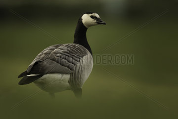A Barnacle Goose (Branta leucopsis) rests in the shade in the Peak District National Park  UK With several Barnacle Geese resting on the grassy banks of a nearby lake  this individual moved away from the group and began to forage along the hillside.