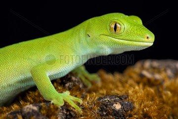 Wellington green gecko (Naultinus punctatus)  New Zealand