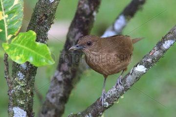 Clay-colored Robin (Turdus grayi) on a branch  Costa Rica