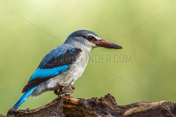 Woodland kingfisher (Halcyon senegalensis) in Mapungubwe National park  South Africa.