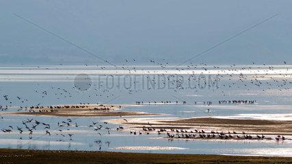 Anatidae and Laridae group wintering in autumn  Lake Kerkini  Greece