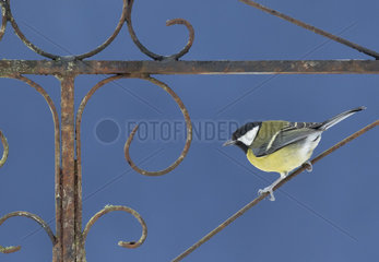 Great Tit (Parus major) perched on a rusty old gate