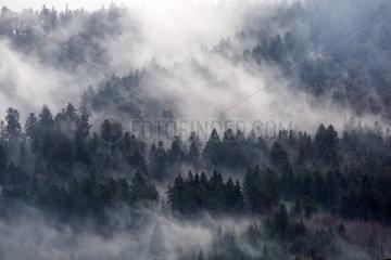 Coniferous trees in mist  near Gerardmer  Vosges  France