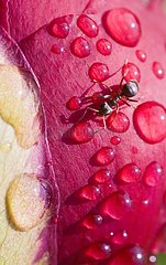 Ant and dewdrops on a bud of peony France