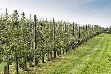 Espaliered Apple trees  France