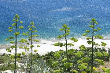 Century Plant (Agave americana) seaside  Corsica  France