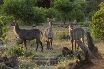Waterbuck (Kobus ellipsiprymnus) Females in the sunsuet light  Mapungubwe national Park  South Africa