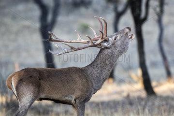 Red deer (Cervus elaphus) male bellowing  Cordoba  Andalucia  Spain