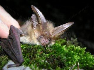 Brown big-eared bat on moss Isere France