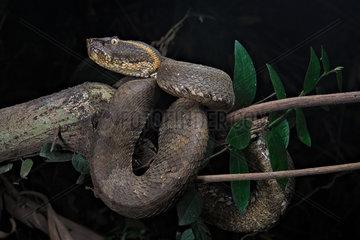 Flat-nosed Pitviper (Trimeresurus puniceus)  Bogor  Java  Indonesia