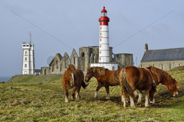 Horses grazing  Pointe Saint-Mathieu lighthouse and abbey  Finistere  Brittany  France