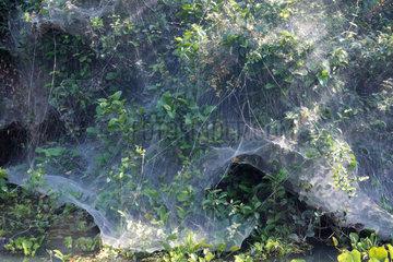 Social Spider (Anelosimus eximius) net  Pantanal  Brazil