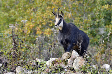 Alpine chamois (Rupicapra rupicapra) in a working quarry in the Pays de Montbeliard  Doubs  France