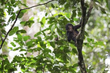Bonobo (Pan paniscus) Bonobo population revealed to the international scientific community by Mr Bokika in 2001. North of Bandundu province. Democratic republic of congo (DRC)