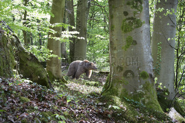 Brown bear (Ursus arctos) in the undergrowth  Doller Valley  Haut-Rhin  Alsace  France
