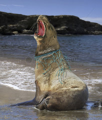 Sea lion  with nylon strings and piece of fishing net wrapped around his neck that caused him a deep wound.