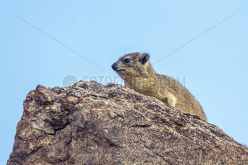 Rock hyrax (Procavia capensis) in Mapungubwe National park  South Africa.