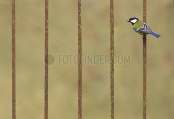 Great Tit (Parus major) perched on syeel bars