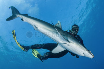 Dive guide holding a silky shark in tonic immobilization  Queen's Gardens National Park  Cuba