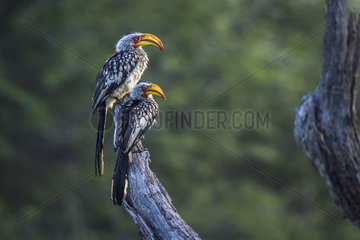 Southern yellow billed hornbill (Tockus leucomelas) in Mapungubwe National park  South Africa.