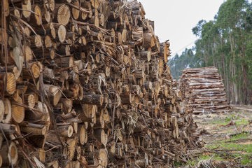 Eucalyptus tree. Chopped timber for manufacture of paper pulp. Portugal